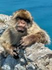 Gibraltar - makaki