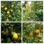 Mandarynki, cytryny, pomarańcze i pomelo