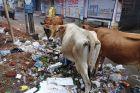 Przy bazarze... krowy szukają jedzenia