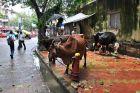 Bombaj - w 16 milionowym mieście - krowy