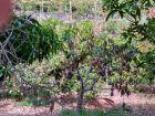 Drzewka mango