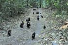 Czarne czubate makaki